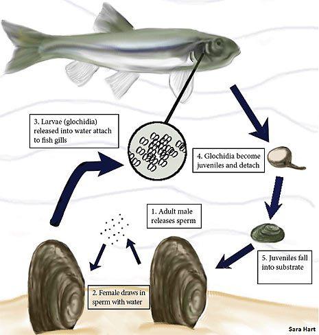 musselchart